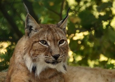 PETA Calls for Lynx Who Escaped From Welsh Zoo to Be Moved to Sanctuary