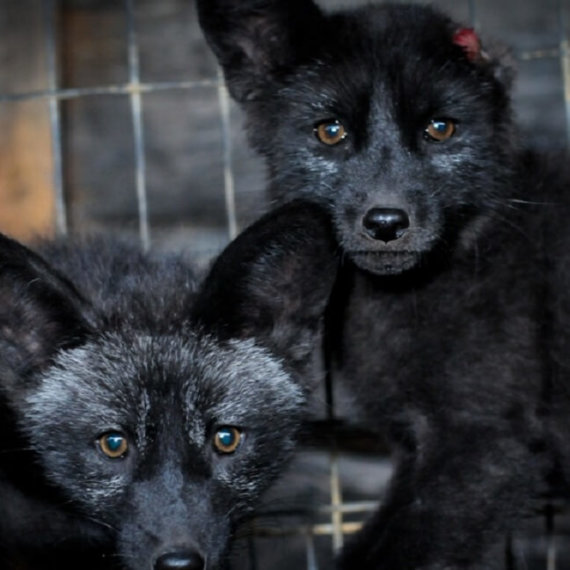 5 Quick Actions to Help Animals Abused and Killed for Fur