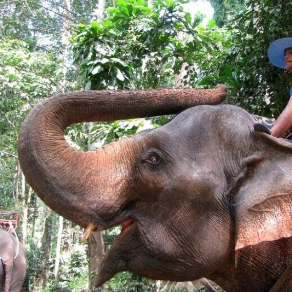 Elephants Beaten and Bullied Into Giving Tourists Rides