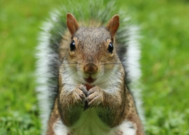 Culling Grey Squirrels Is Unjustifiable – Both Scientifically and Ethically