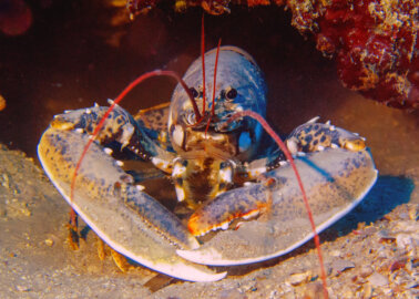 Government Set to Ban Boiling Lobsters Alive