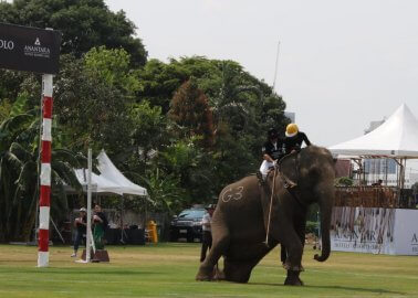 Breaking: Elephants Violently Beaten for 'Charity' Polo Match
