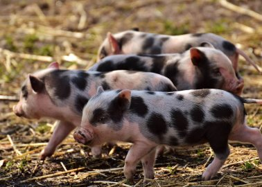 Victory for Pigs! Rugby Council Says No to Cruel Factory Farm