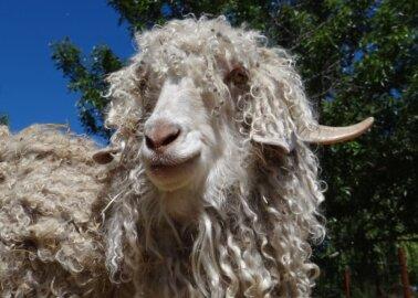 Great News for Goats! Kelly Hoppen Bans Mohair After PETA Exposé