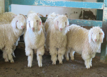 Victory! The Royal Collection Trust Ditches Mohair Following PETA Appeal