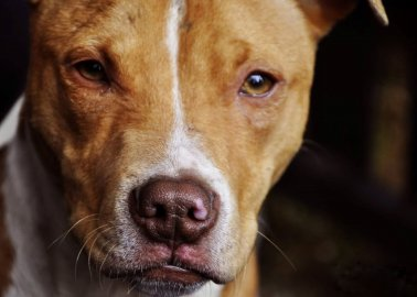 Why PETA Supports Breed-Specific Laws