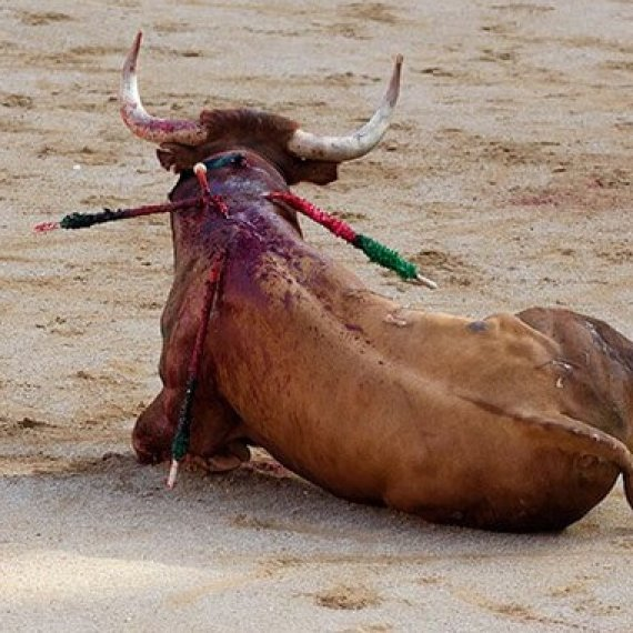 Urge Spain's New Prime Minister to End the Bloody Torture of Bulls