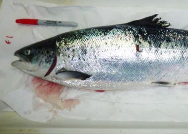 GRAPHIC: More Proof That Fish Are Suffering in the Food Industry (Photos)