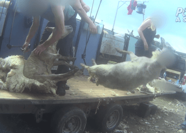 Investigation: Sheep in the UK Beaten, Stamped on, Cut, and Killed for Wool