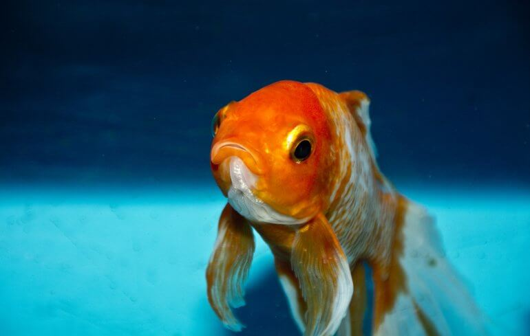Goldfish, frish cruelty