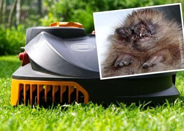 Robot Lawnmower Threat to Hedgehogs – Wildlife Mutilated by Automatic Gardening Tools