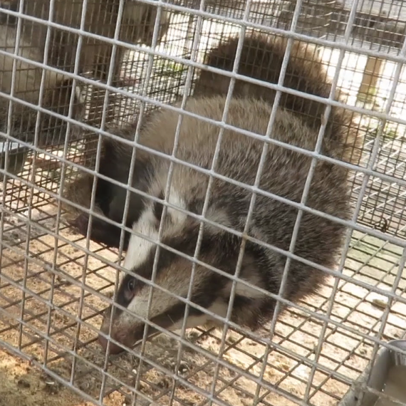 Badgers Held in Cramped Cages, Beaten, and Killed for Their Hair – Take Action Now!