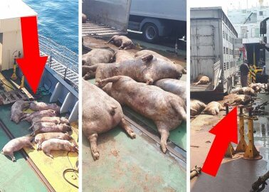 Eyewitness: 40 Pigs Thrown Into the Sea in Animal Transport Horror