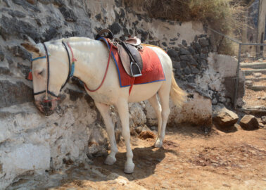 Donkeys on Santorini Abused and Used as Taxis: Please Help Them!