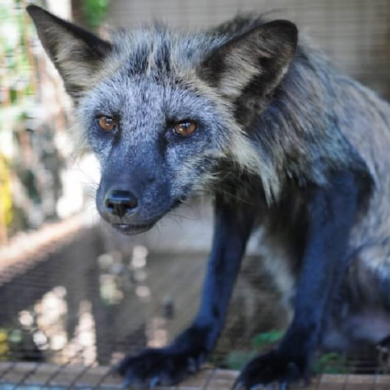 Urge Your MP to Support a #FurFreeBritain