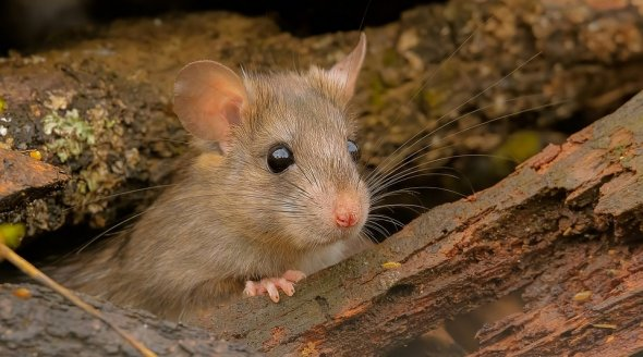 Image shows a mouse in the wild.