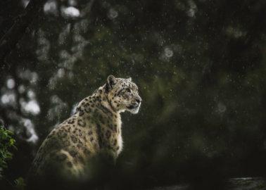 Margaash the Snow Leopard Shot Dead for Behaving Like Wild Animal