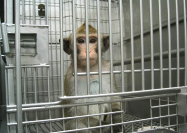 A Living Nightmare: Monkeys Caged, Poisoned, and Killed in Laboratories