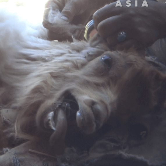 Goats Violently Abused, Left to Die – Urge Madewell to Ban Cashmere