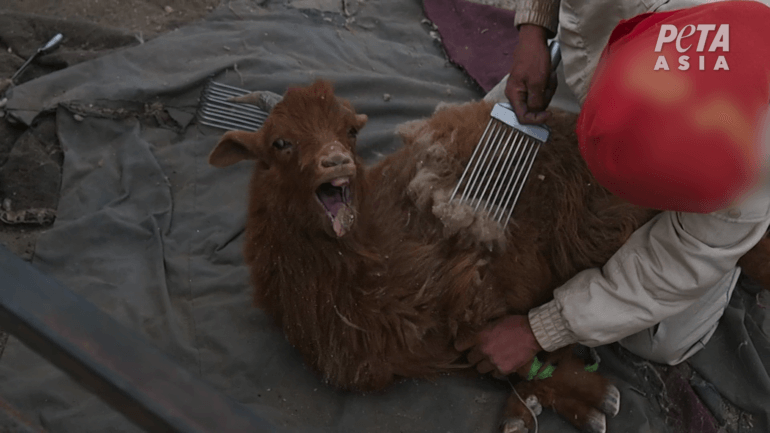 goat screaming and being combed