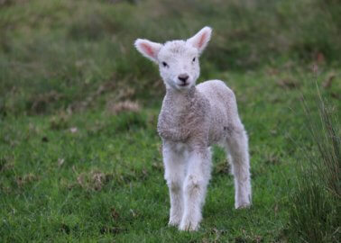 20 New PETA Bus Ads Urge Glasgow Shoppers to Ditch Wool