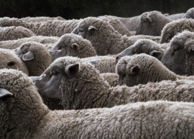 Are Sheep Killed for Their Wool?