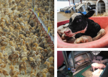 World Farm Animals Day: Horrors of Meat, Egg, Dairy, and Fishing Industries
