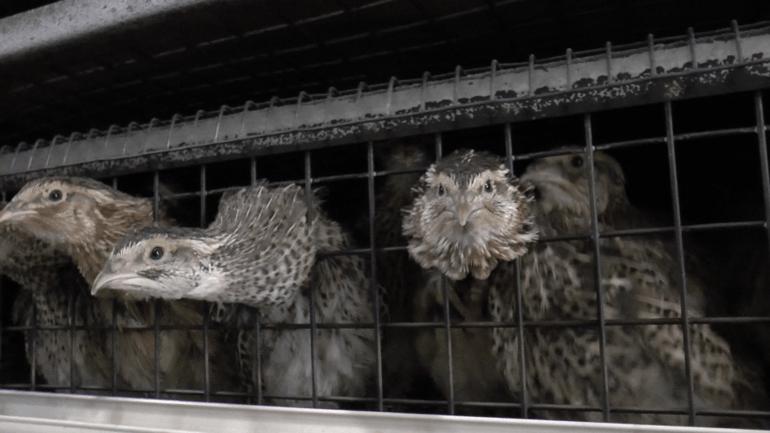 Quail 10 - Italy investigation 2016_© Compassion in World Farming