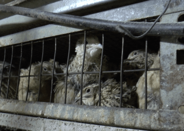 Revealed: How Quails Suffer on European Factory Farms