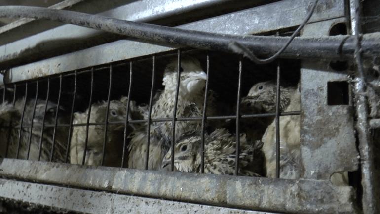 Quail 4 - Greece investigation 2016_© Compassion in World Farming