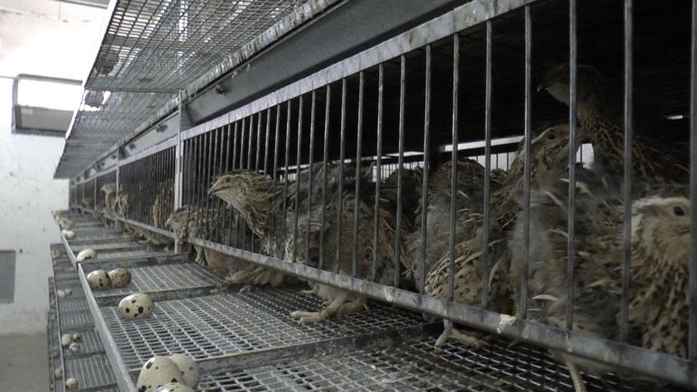 Quail 6 - Italy investigation 2016_© Compassion in World Farming