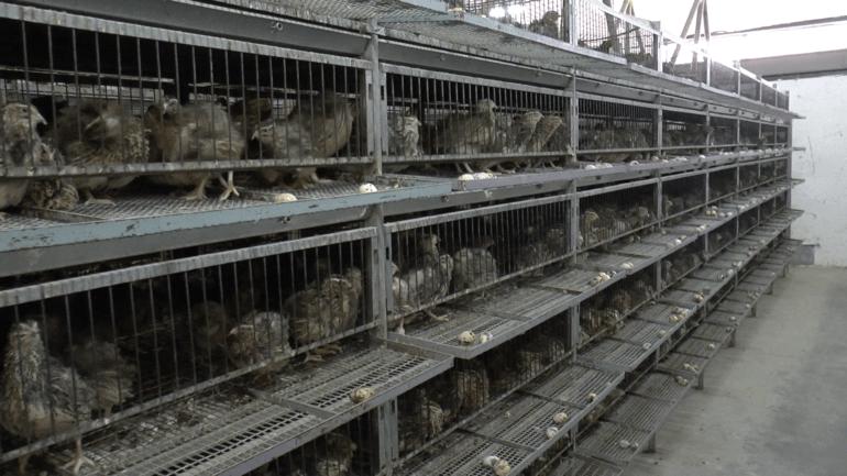 Quail 8 - Italy investigation 2016_© Compassion in World Farming
