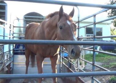 K-Cruelty: Inside South Korea's Largest Horse Abattoir