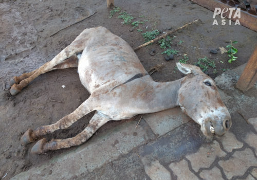 PETA Asia Ejiao Investigation Dead donkey outside slaughterhouse