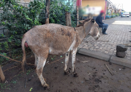 Donkey with apparent prolapse
