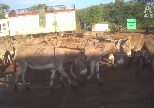 PETA Asia Donkeys being Transported