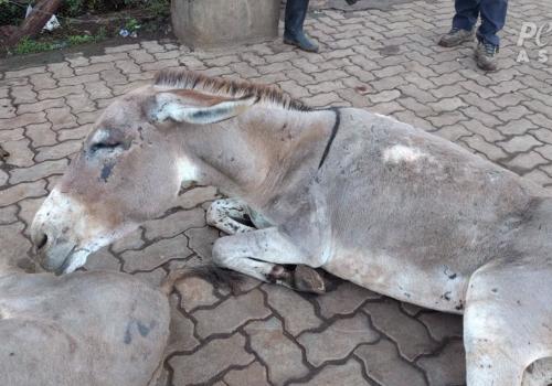 Injured donkey dumped outside slaughterhouse