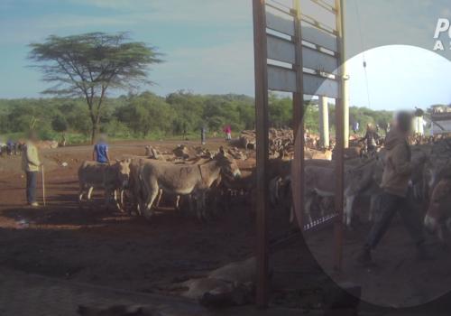 PETA Asia Ejiao Investigation Man is Hitting Donkeys