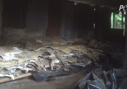 PETA Asia Ejiao Investigation Donkey Skins in a Pile