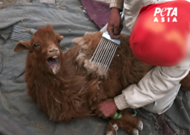 Cashmere Industry Exposed: Terrified Goats Scream in Pain
