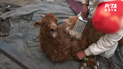 Goat being Combed