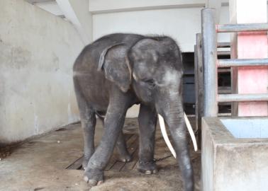 Orangutan, Elephants, and Other Animals Languishing at Thai Zoo