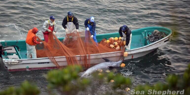 Dolphin in Japanese killing cove