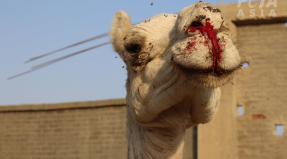 camel with bloody face