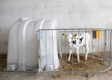 Exposed: How Vulnerable Young Calves Are Caged and Isolated on EU Farms