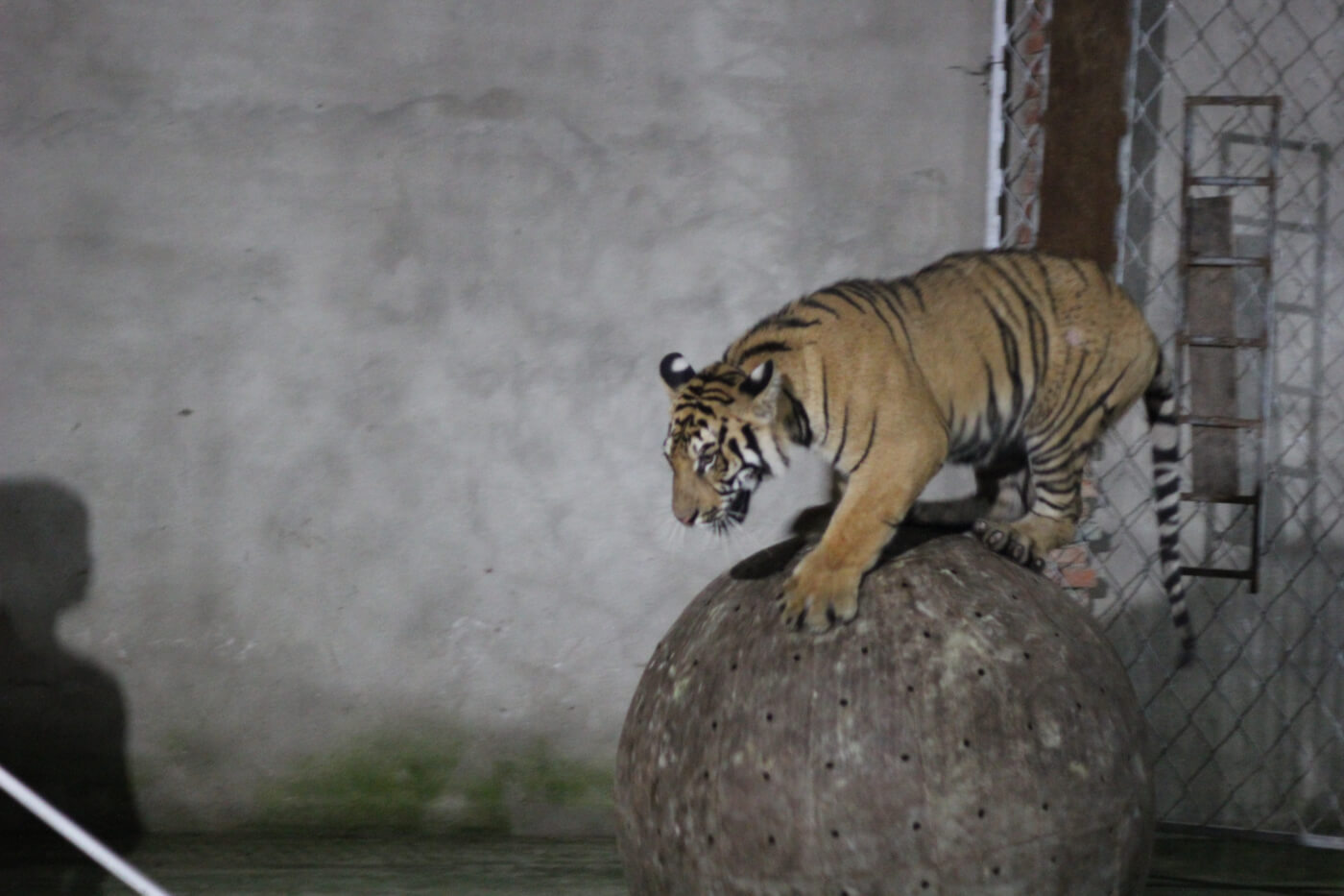 Tiger balancing on ball in circus