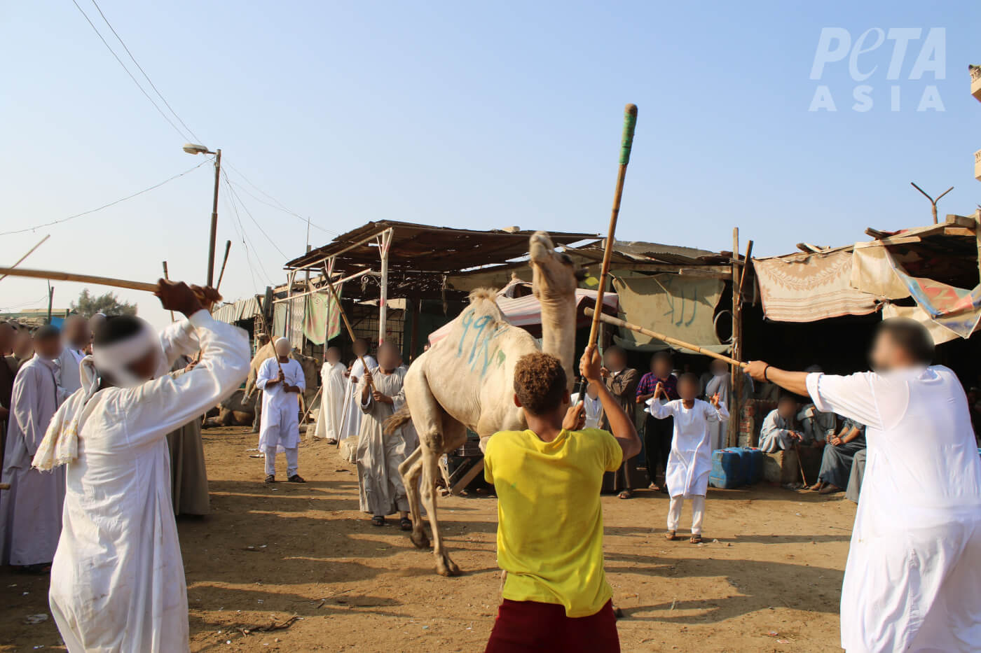 camels being beaten at Birqash Camel Market in Cairo