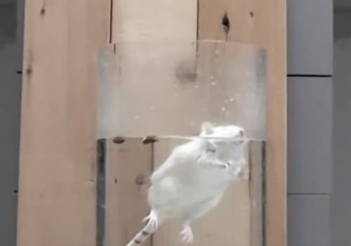 Rat floating for Forced Swim Test