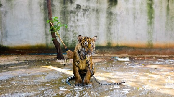 tiger chained in facility