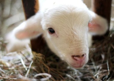 VIDEO: Fashion Influencers Meet Rescued Lambs